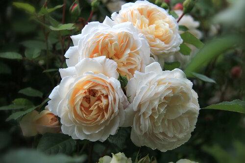 Приглашаем на цветение роз! м. Медведково, ул. Широкая, 27. Вход свободный!