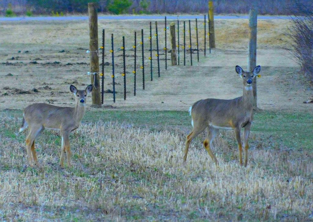 Deer on the yard