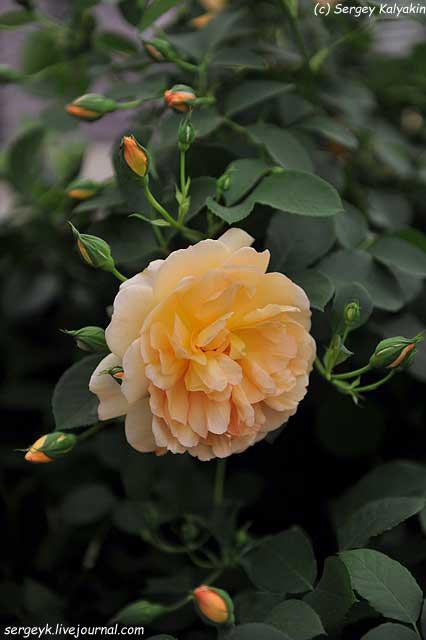 Rosa Dame Judy Dench (2).JPG