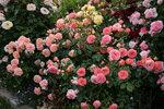 Розы Пульсена