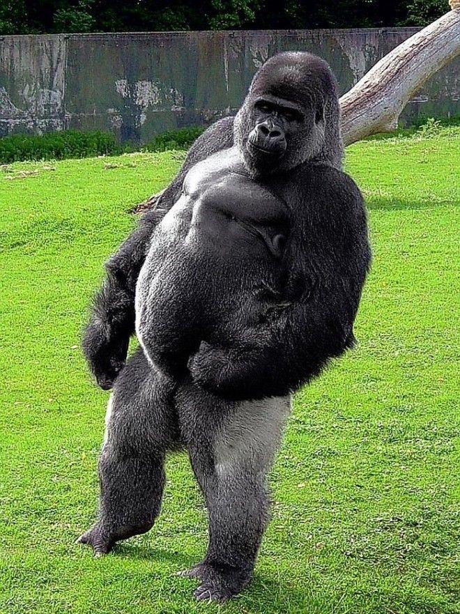 Этот взрослый массивный самец обитает в Порт Лимпн, находящемся в британском графстве Кент. Каждый г