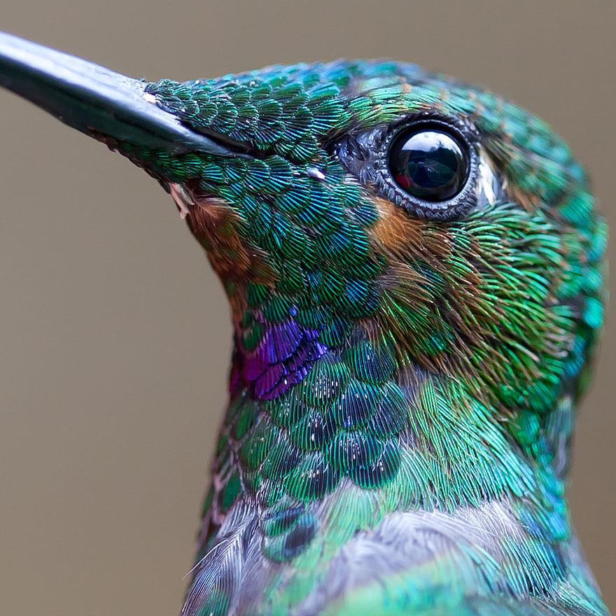 Яркие, как горстка самоцветов: самые красивые виды колибри (14 фото)