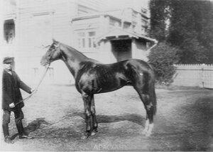 Лошадь Арасхан, победитель приза С.Леджер.