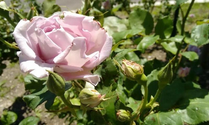 Rose 2017.