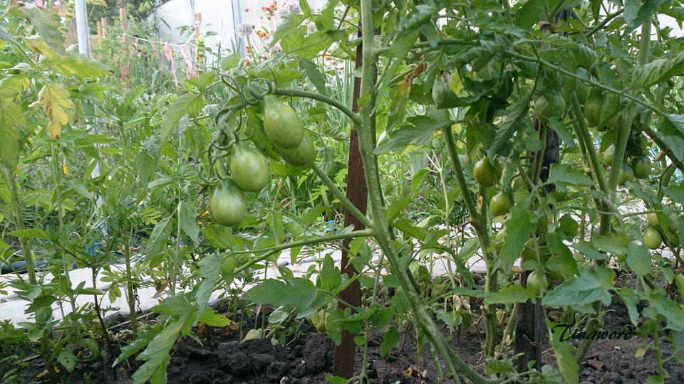 помидоры-00.jpg