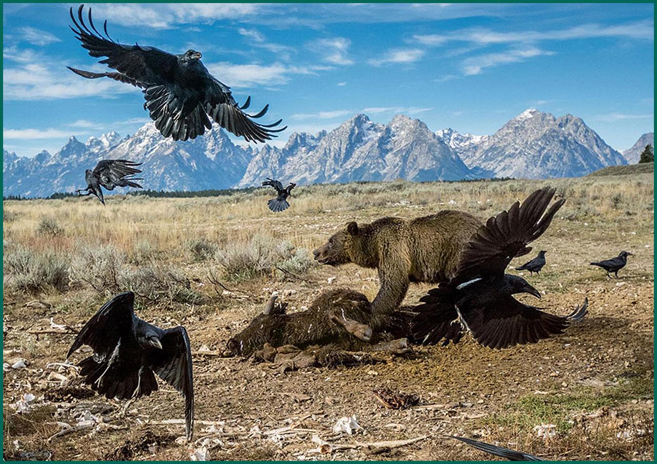 Медведь гризли бьётся с воронами за тушу бизона в Национальном парке США Гранд-Титон