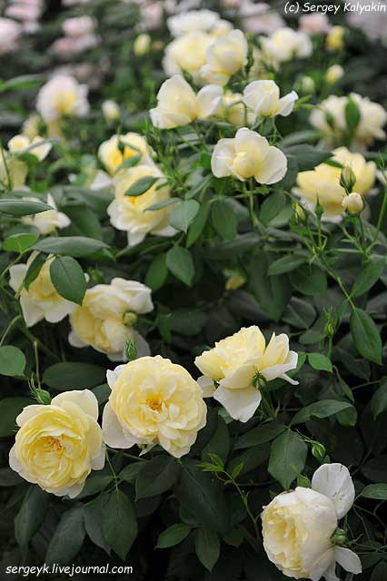 Rosa Vanessa Bell (3).JPG