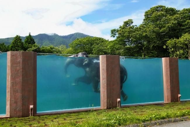 © Koji Ueda  Бассейн длиной 65метров, сооруженный специально для слонов всафари-парке уподн