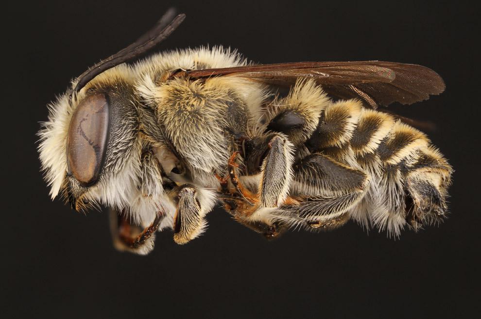 5. Пчёлы, как и муравьи, по существу являются специализированной формой ос. На сегодня старейше