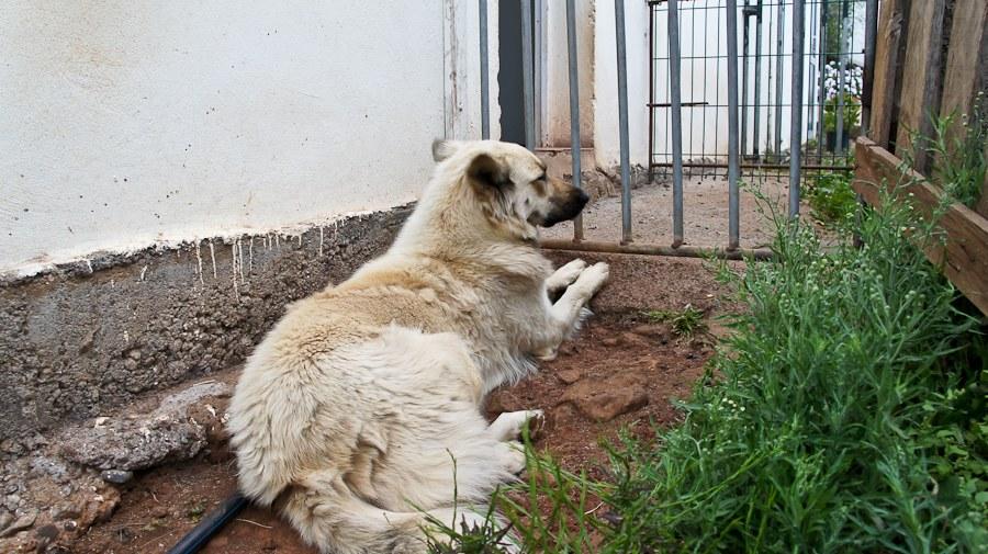 Пилуса вместе с козой Марой, которая всегда выходит из загона (как я покажу вам позже), наводят