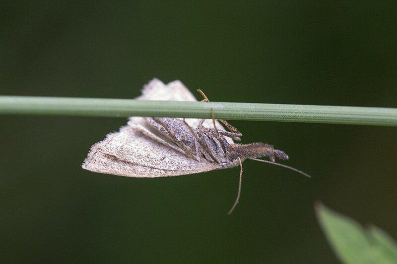 Совка-огнёвка скромная (Polypogon tentacularia) - серый мотылёк с длинными, выставленными вперёд щупиками