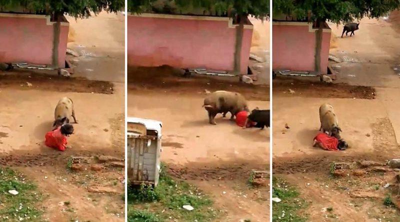 Свиньи напали на женщину в Индии