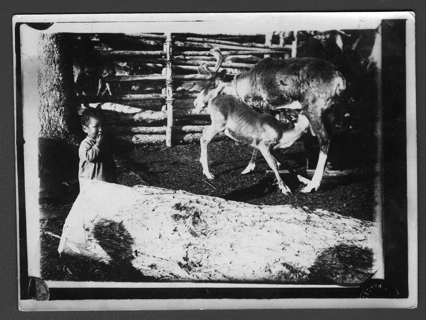 Тутурские тунгусы. Вершина - тутурское стоибище. Доени оленихи, подпускают теленку, что топостила молоко.jpg