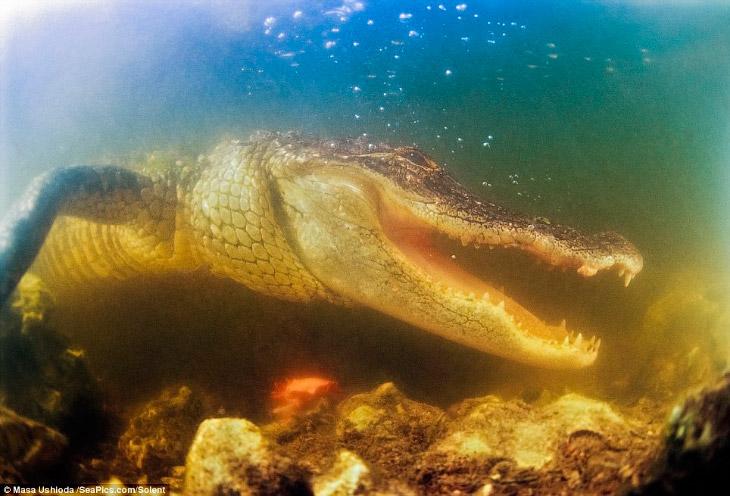 Фотограф хотел подобраться к аллигаторам как можно ближе, несмотря на опасность вторжения на их терр
