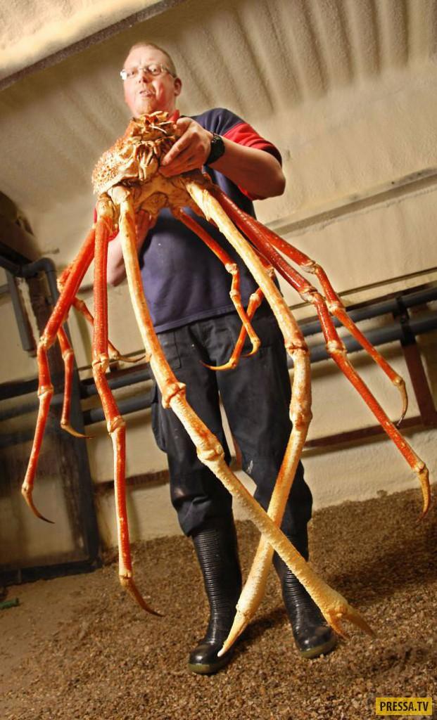 Размер этого краба достигает около 3-х метров от клешни до клешни, а его масса может доходить до 20
