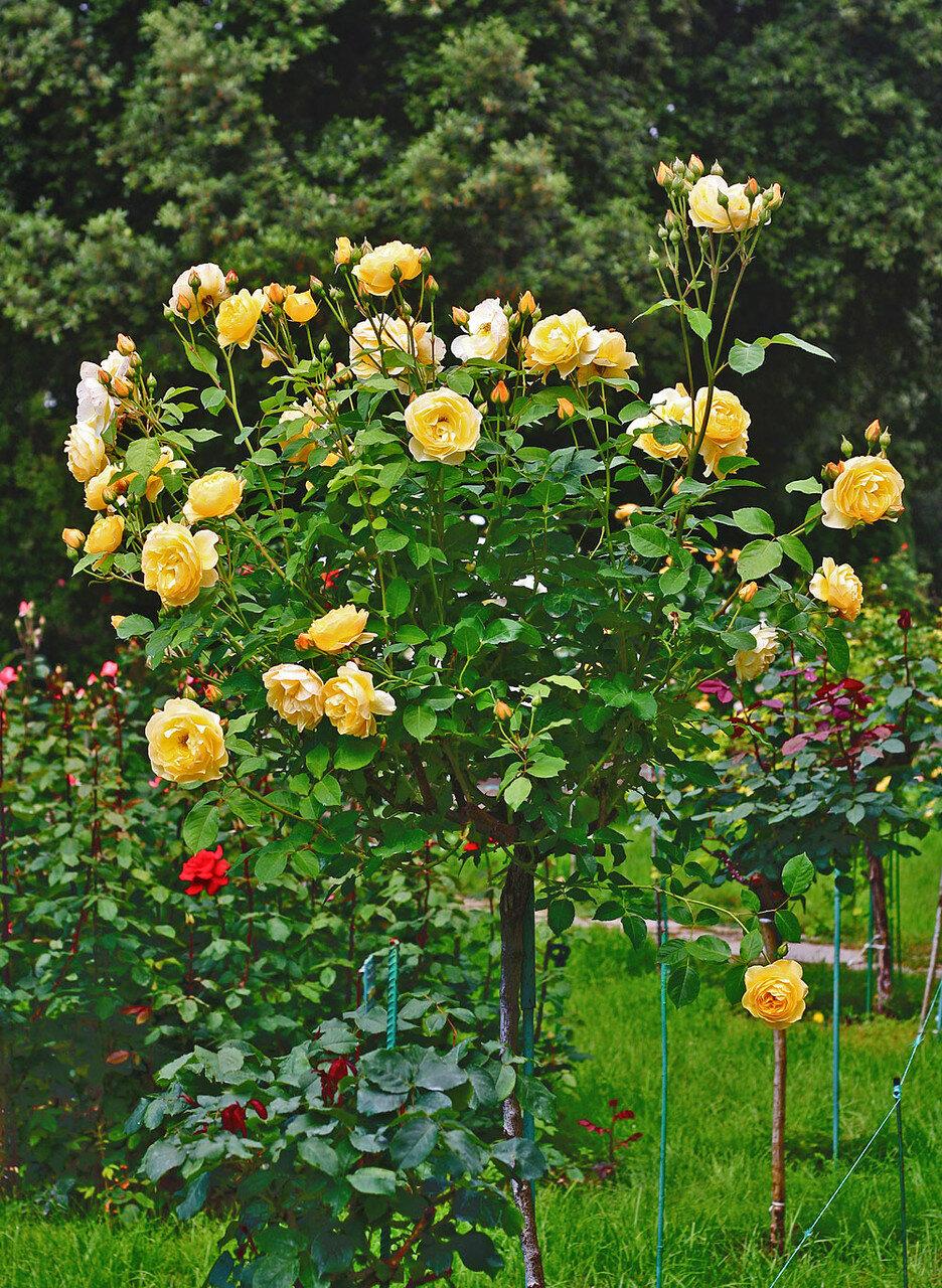 розы-для-полуострова-2.jpg