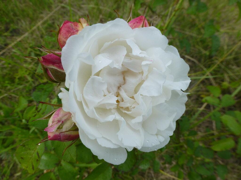 Розы с яйцами и прочие дачные радости L1280026.JPG