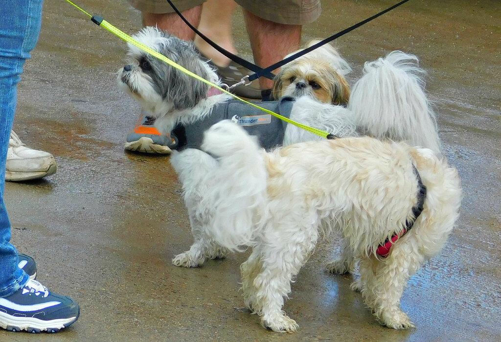 Собаки на выставке ретро-автомобилей