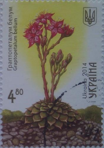 2014 кактус граптопеталум белум 4.80