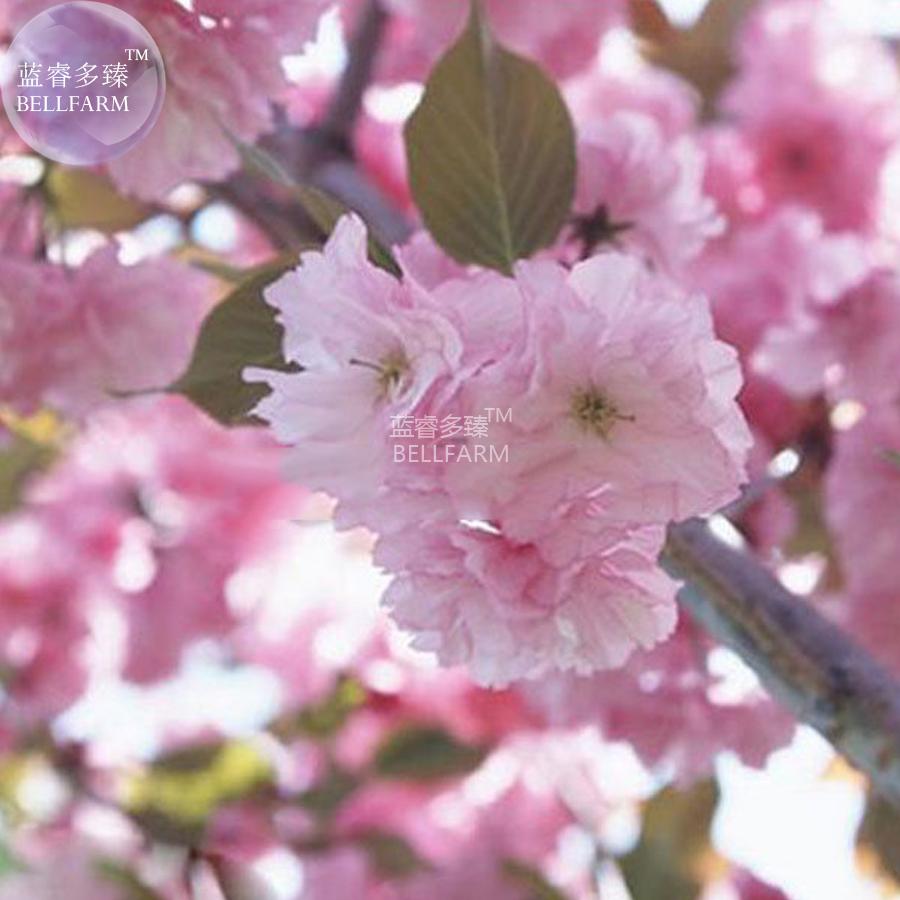 Bellfarm japanese pink cherry blossom sakura tree 20 seeds e3752 1 logo mightylinksfo