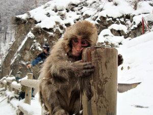 Парк снежных макак Джигокудани...