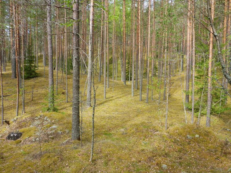 сосновые леса и холмы на лужском полигоне
