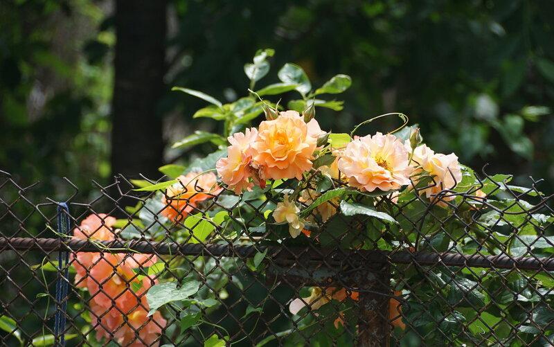 Крымские розы в цвету