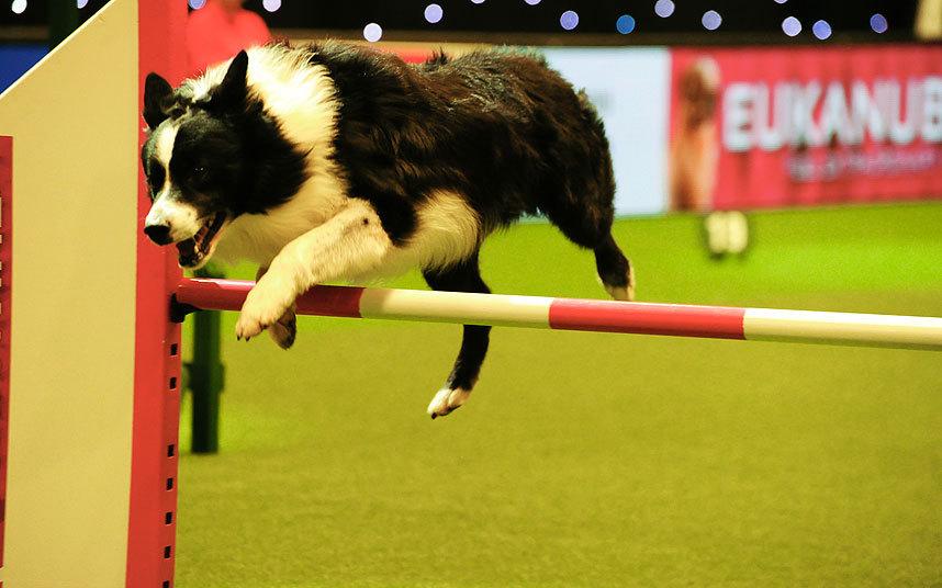 Выставка собак Cruft, Бирмингем, Англия.