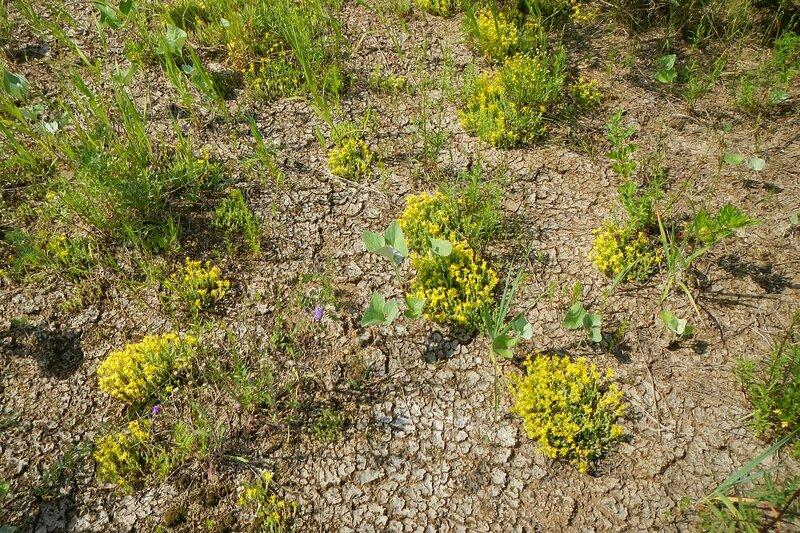 Очиток едкий (лат. Sedum acre) - жёлтые звёздчатые цветки на длинных плетях с толстыми чешуйчатыми листочками на пустынном пляже с растрескавшейся землёй около реки