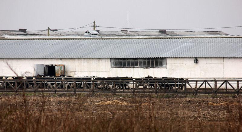 Коровники около платформы Насилово станции Молодечно