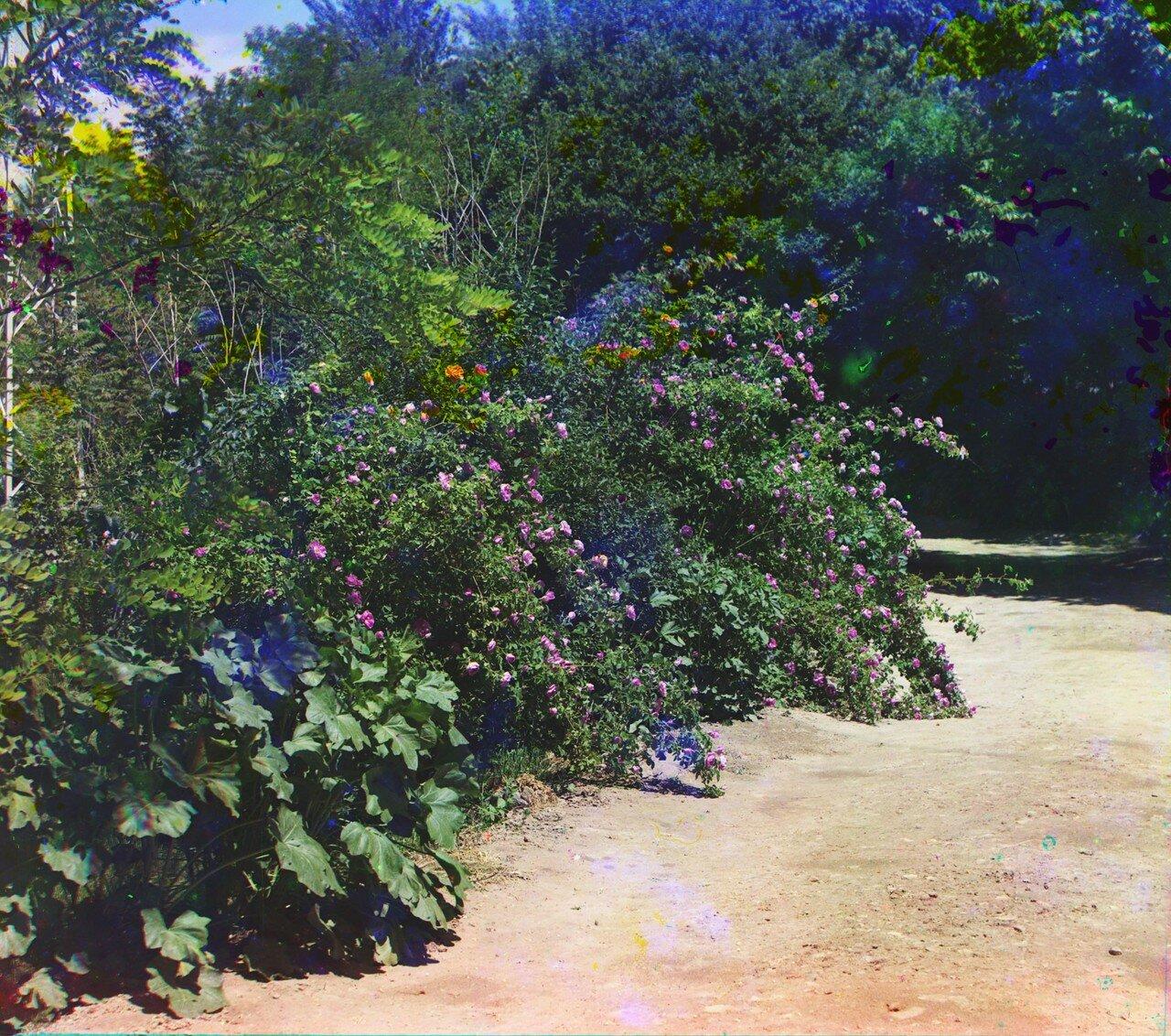 Окрестности Мерва. Байрам-Али. Мургабское имение. Розы в парке Мургабского имения