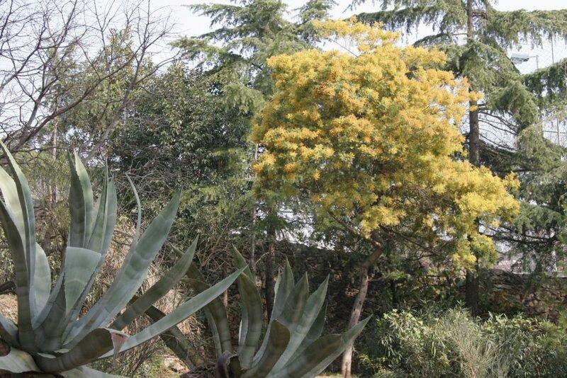 Мимоза, агава