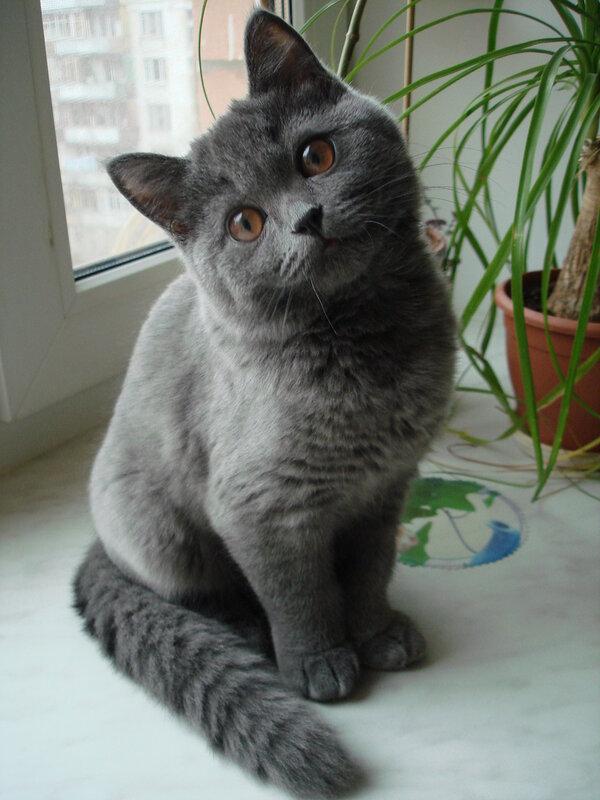 С чего вдруг, русская кошка - и голубая?