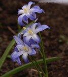 Хионодокса Люцилии (Chionodoxa luciliae), семейство лилейные
