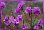 Рододендрон даурский (Rhododendron dauricum), семейство вересковые