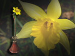 Нарцисс 3ф.jpg
