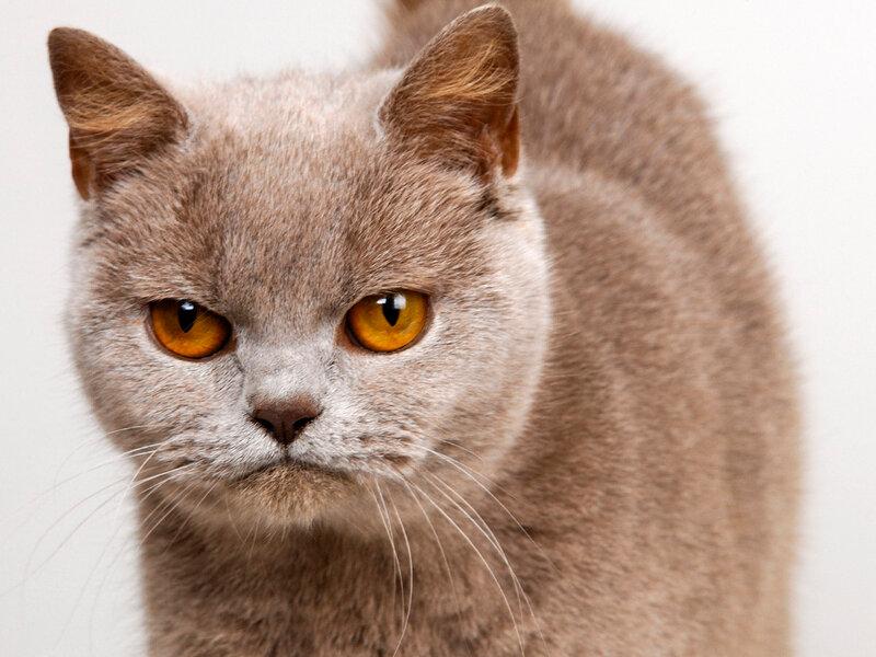 Картинки Кошка, флегматичная, серая, морда, белый фон обои, фото.