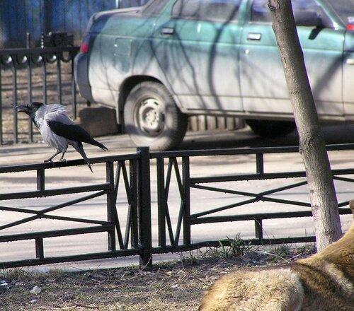 Ворона и собака-9.