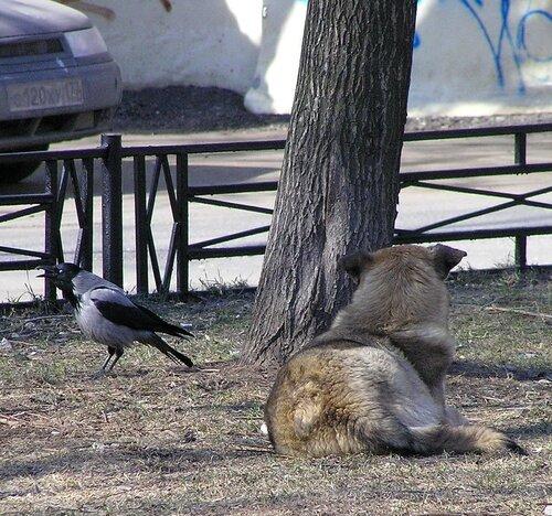 Ворона и собака-3.