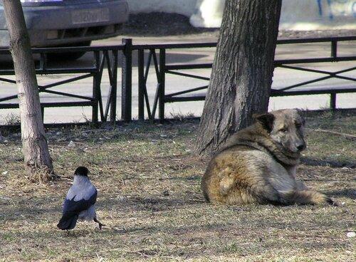 Ворона и собака-1.