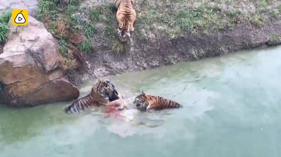 В китайском зоопарке тигров кормят живыми ослами