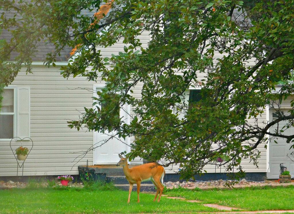 Олени в нашем дворе