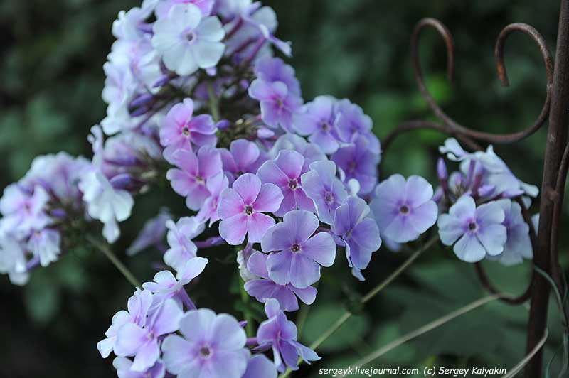Phlox paniculata Lavendelwolke.JPG