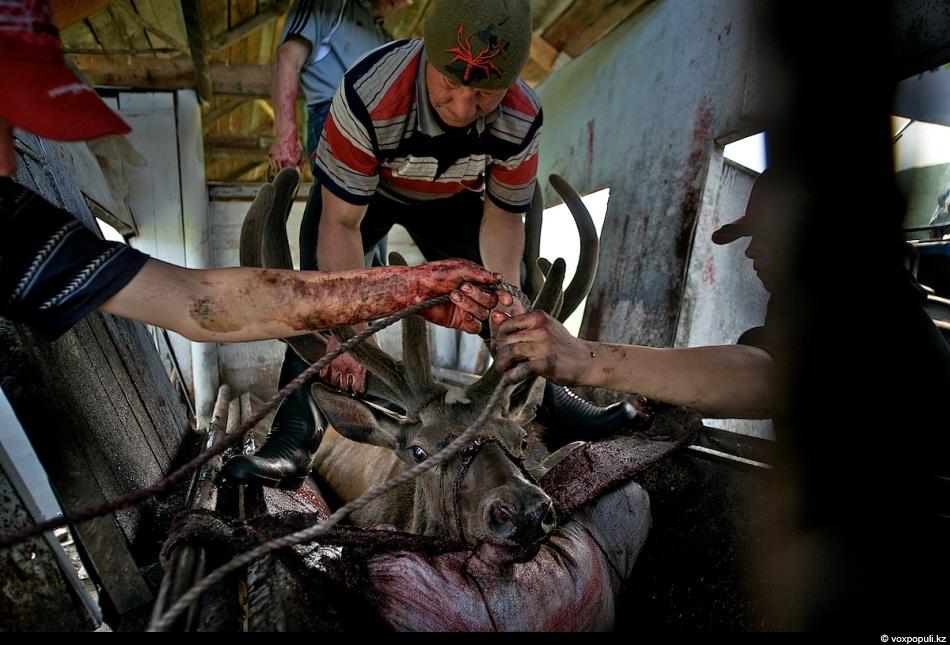 10. Отпиливание рогов является очень деликатной процедурой: можно легко повредить хрупкие панты во в