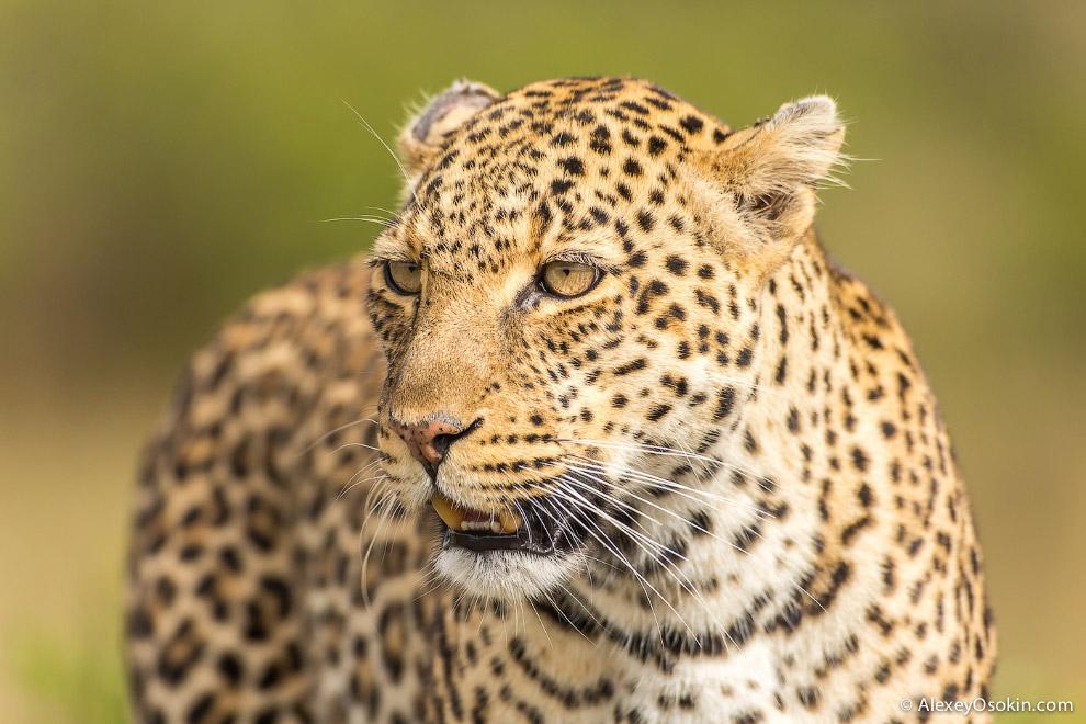 3. Последние два года я провел в обществе леопардов. Не подумайте, что я забыл о гепардах, нет,