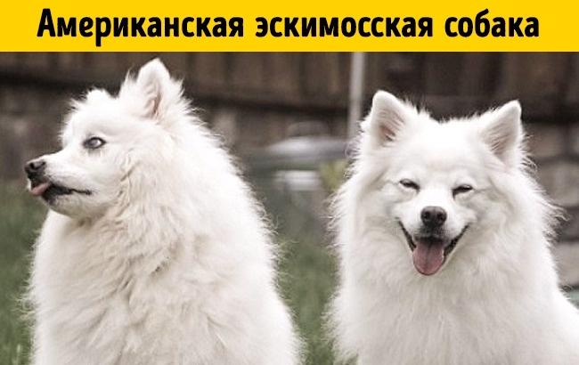 Американская эскимосская собака— близкий родственник немецкого шпица. Это нежн