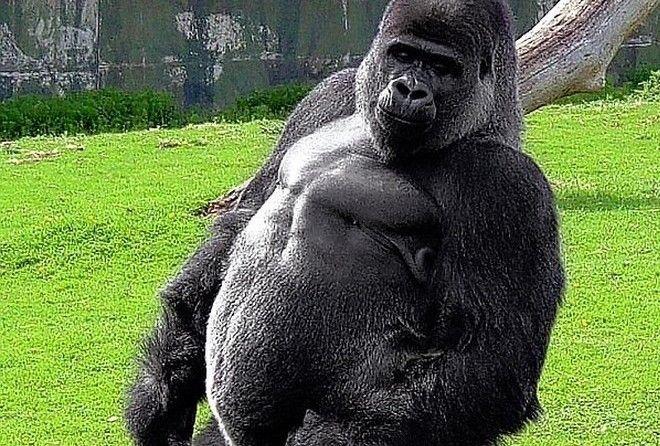 Однако на самом деле гориллы очень миролюбивы . Питаются они в основном растениями, а животную пищу