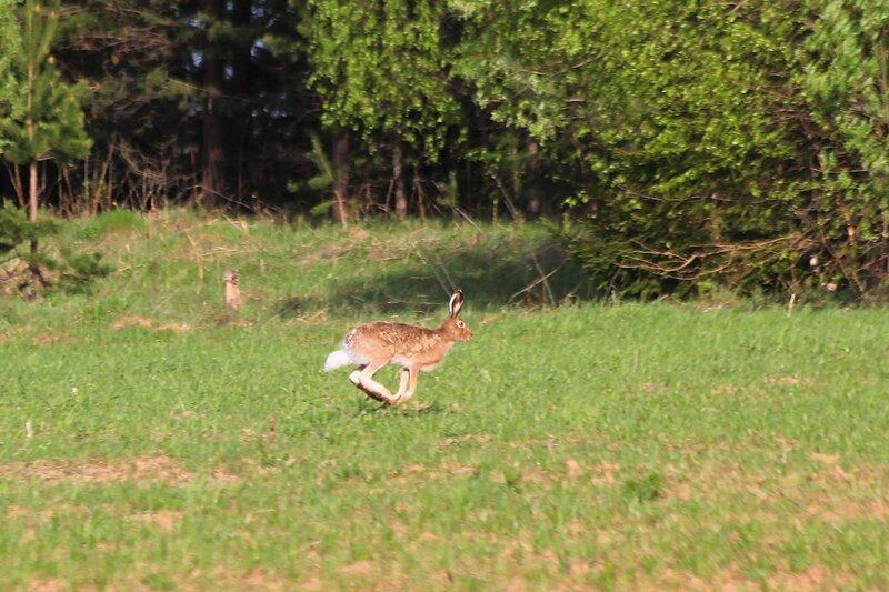 Крупный заяц-русак (лат. Lepus europaeus) бежит весной по полю в Яранском районе Кировской области