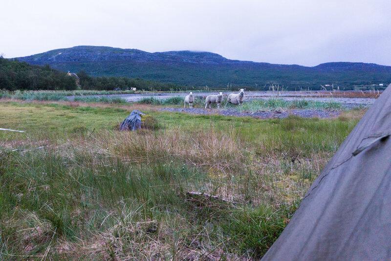 к палатке подошли овцы