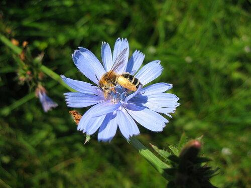 Цикорий с пчелой.